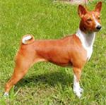 БАСЕНДЖИ (собака Занде, лесная собака из Конго, бонго-терьер, конго-терьер, ньям-ньям-терьер)