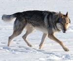 ЧЕХОСЛОВАЦКАЯ ВОЛЧЬЯ СОБАКА (чехословацкий влчак)