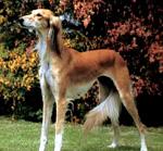 САЛЮКИ (газелья собака)